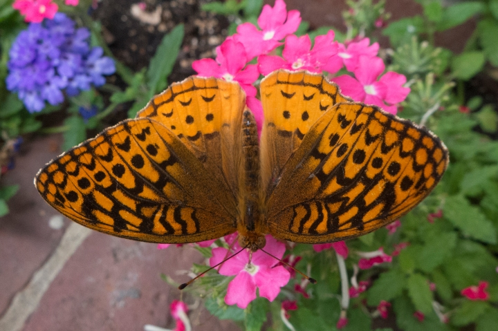 Butterfly in Amherst