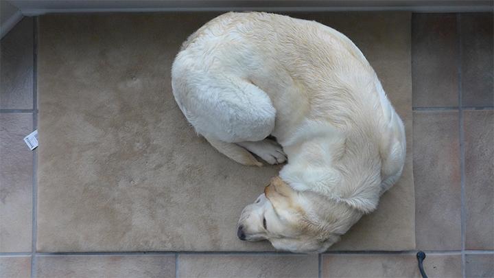 labrador sleeps
